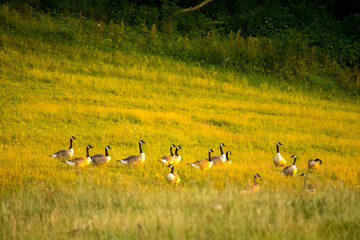 Canada Geese in Field