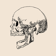 Skull drawing line on paper vector illustration.Sketch head bone art.Human skull draw