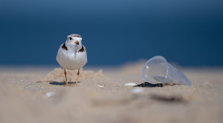 Piping Plover on a Polluted Beach with Litter  Wall mural