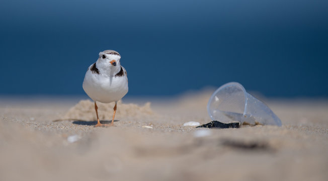 Piping Plover on a Polluted Beach with Litter