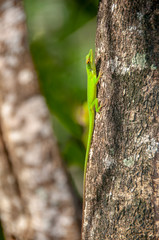 Allison's Anole on a Tree