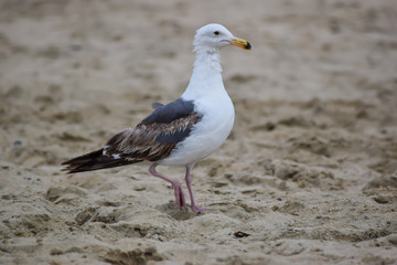 White seagull in the sand