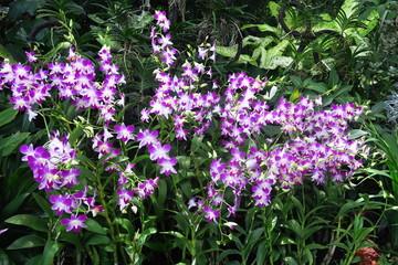 Buisson d'orchidees violettes et blanches