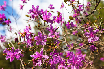 Flowering wild Siberian Rhododendron on the shore of Baikal Lake in sunny spring day. Natural floral background