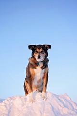 German Shepherd Mix Breed Dog Standing on Large Snow Bank on Winter Day