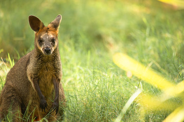 Small Swamp Wallaby outside during the day time.