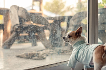 Chihuahua dog wear blue cloth waiting for something in room