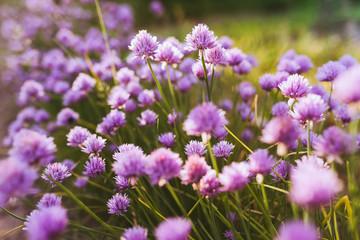 Flowers  background with violet decorative onion. Flower decorative onion. Close-up of violent onions. Flowers on summer garden. Violent allium flower.