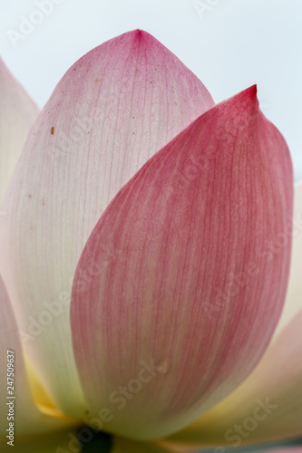 Close Up Of Pink Lotus Flower Petals Showing The Fine Lines Texture