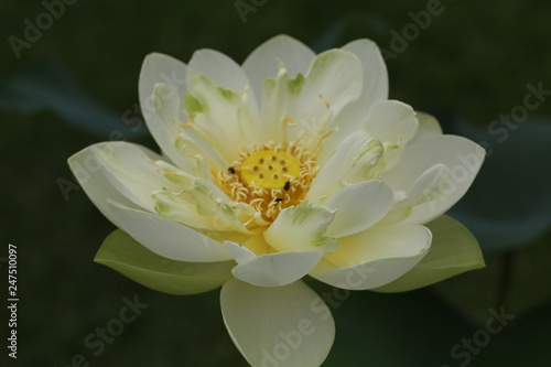 Close Up Of White Lotus Flower Petals Showing Pollen And Bees The