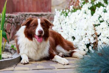 Dog breed Border Collie