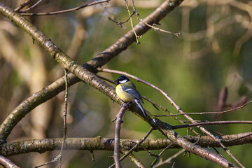 Great tit sitting on a branch