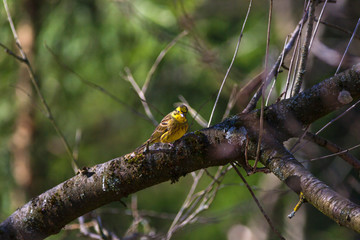 Yellowhammer sitting on a tree branch