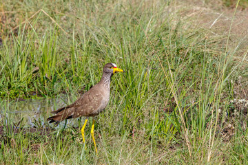 Beautiful African Wattled lapwing standing in the grass