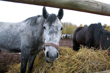 Grey horse near a big haystack