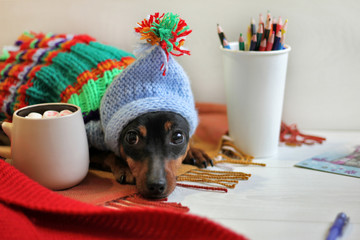 Cute dog miniature pinscher in colorful knitted clothes in a cozy atmosphere
