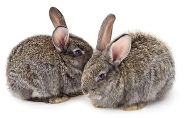 Gray rabbits isolated.