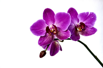 Purple phalaenopsis flowers on the right. known as butterfly orchids. Purple orchid flower phalaenopsis, phalaenopsis or falah on a white background. Selective focus. There is a place for your text.