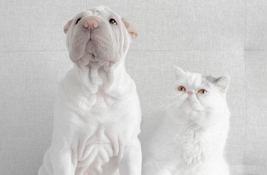 British shorthair cat looking at a shar-pei puppy