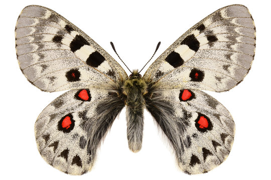 Large keeled Apollo, rare butterfly from Kazakhstan (Parnassius tianschanicus, male) isolated on white background