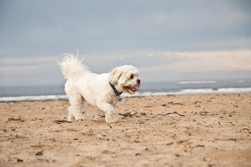 Shih-tzu Poodle playing on the beach. UK