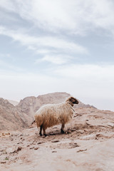Mouton de Petra