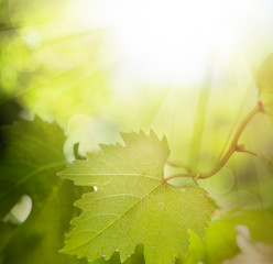 Green grape leaves with bokeh light background