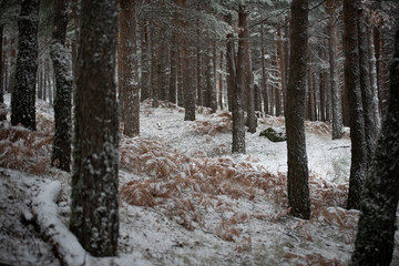 Dark tree trunks in forest covered with snow in Portugal