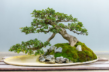 Foto op Canvas Bonsai Bonsai tree around 60-70 years old