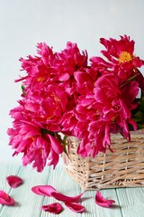 A bouquet of fresh red peonies on a gently blue background, burgundy peony petals