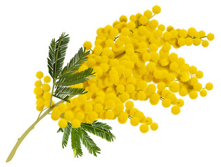 Yellow mimosa branch flower. Acacia symbol of love in Italy