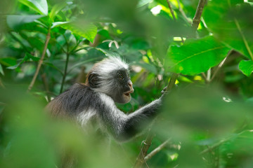 Photo sur Plexiglas Singe Red colobus Piliocolobus kirki monkey on the deposed wood , Jozani forest, Zanzibar, Tanzania