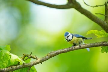 Cyanistes caeruleus. Wildlife. Wild nature of Czech. Beautiful picture. Free nature. From bird life. Spring. Blue bird.