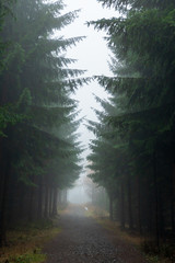 Footpath in a pine forest