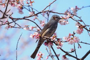 桜の木に止まるひよどり