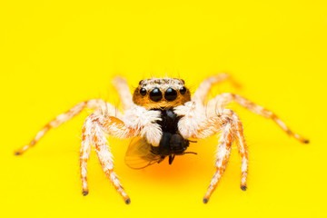 Beautiful jumping spider isolated on yellow background