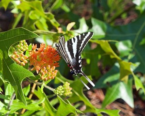 Black Swallowtail Butterfly on Orange Butterfly Weed