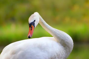 Fototapete - White swan on the grass