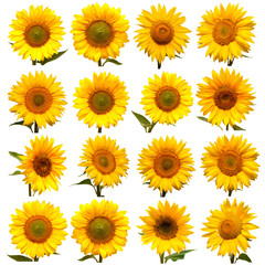 Sunflowers head collection isolated on white background. Sun symbol. Flowers yellow, agriculture. Seeds and oil. Flat lay, top view. Bio. Eco