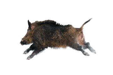 Wild boar against white