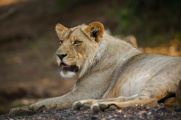 Lion (panthera leo). Botswana