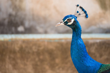 Male colorful peacock in the temple Thailand.
