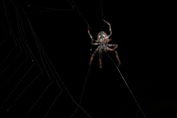 Close-up studio shot of spider spinning a web on a black background