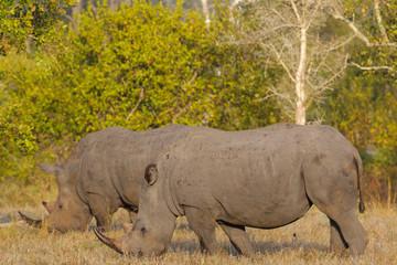 White rhinoceros or square-lipped rhinoceros (Ceratotherium simum). Limpopo Province. South Africa