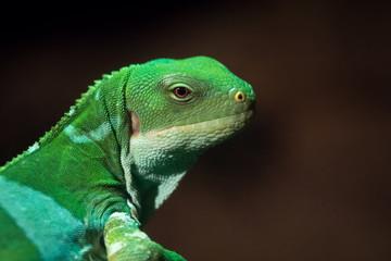 Iguana de las Fiji - Fidji Banded Iguana