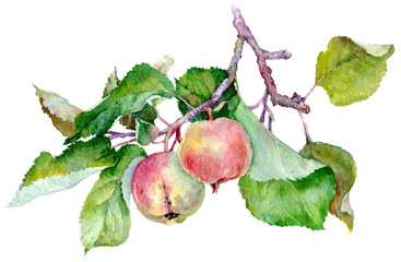 branch with two red apples and green leaves. Watercolor illustration isolated on white background.