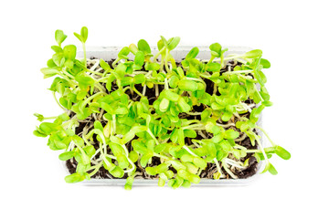 Sunflower seeding in a small plastic box