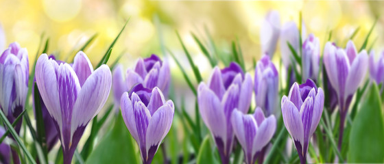 Photo sur Plexiglas Crocus beautiful purple crocus blooming in a garden in panoramic size