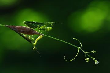 The green praying mantis