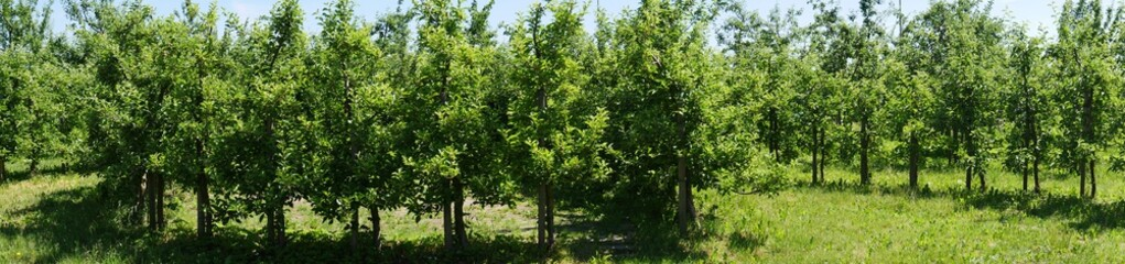 Wide format of the picture, photo in a  apple trees plantation.  Paths that are overgrown with weeds. Fruits not ripe.